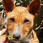 Le Basenji, un chien qui n'aboie pas