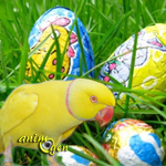 Le danger de Pâques pour nos perroquets