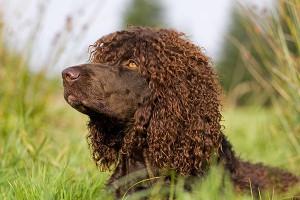 Les races de chiens dites hypoallergéniques