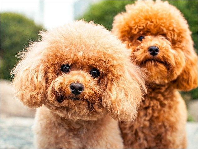Where To Get A Poodle Cat