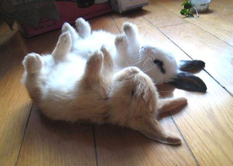 Comportement : la transe chez le lapin, ou immobilité tonique (causes, utilité, rôle)