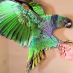 L'Amazone impériale, ou Amazone sisserou (Amazona imperialis), perroquet relique des Antilles