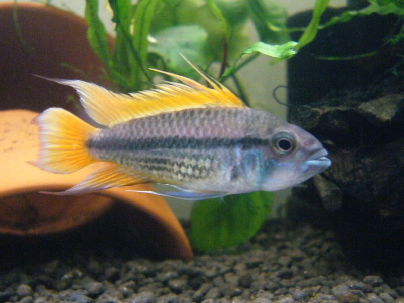 poisson d eau douce l apistogramma cacatuoides petit cichlid flamboyant animogen. Black Bedroom Furniture Sets. Home Design Ideas