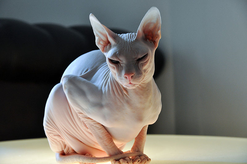 Race de chat , le Donskoy, Don hairless, Don sphynx, ou sphynx du