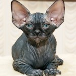 Race de chat - le Donskoy, Don hairless, Don sphynx, ou sphynx du Don