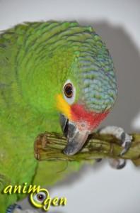 L'artichaut pour nos perroquets