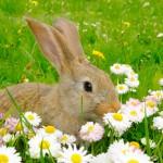 Alimentation : nos lapins savent-ils d'instinct comment bien se nourrir ?