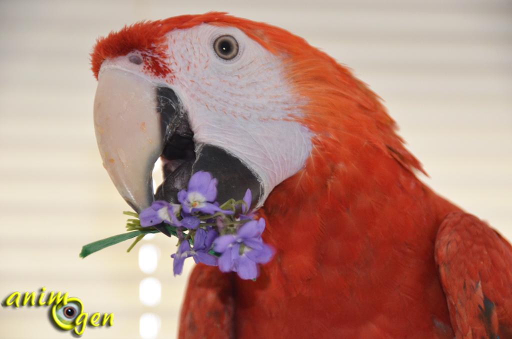 Les fleurs (non toxiques) dans l'alimentation de nos perroquets