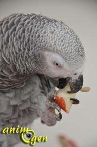 Alimentation : la poire Williams rouge, une caresse vitaminée pour nos perroquets