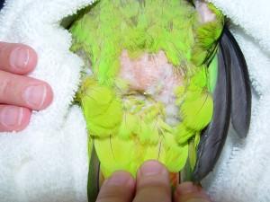 Les perroquets enseignent-ils le picage aux perroquets ?