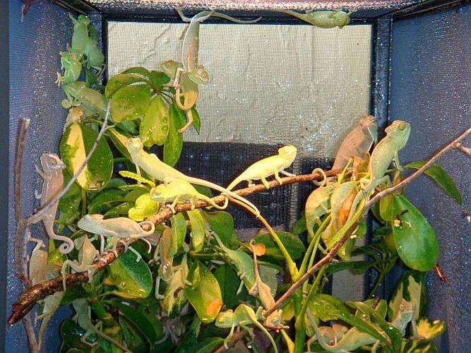 plante pour cameleon yemen