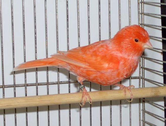 Le canari (Serinus canaria)