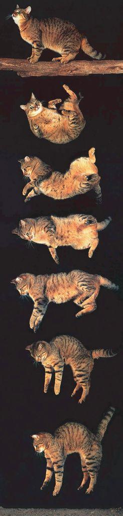Le réflexe de redressement du chat pendant la chute