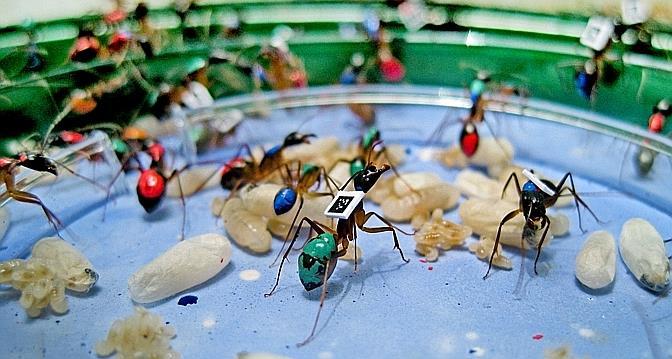 Le comportement des fourmis décrypté par les scientifiques de l'Université de Lausanne (UNIL)