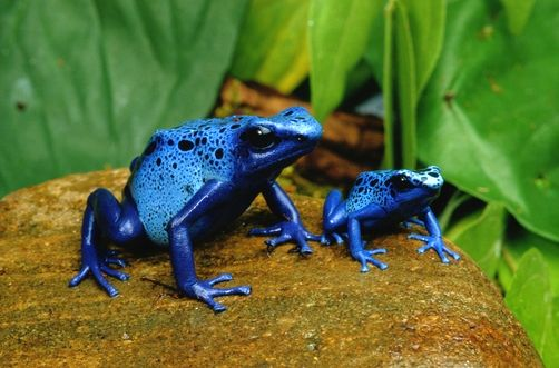 La grenouille dendrobate bleue (Dendrobate azureus)