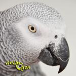 Le perroquet gris du Gabon, ou Psittacus erithacus erithacus, une sensibilité à fleur de peau