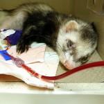 Groupe sanguin et transfusion chez les furets