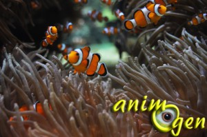 Poisson clown (Amphiprion-ocellaris)
