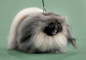 Quelles sont les races de chiens les plus anciennes ?