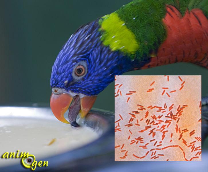 Santé : la salmonellose (salmonelle) chez les perroquets (causes, symptômes, traitement)