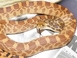 Le serpent taureau, ou Pituophis catenifer sayi