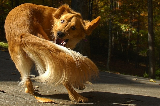 Comportement : les comportements compulsifs chez les chiens (causes, symptômes, solutions)