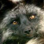 La domestication du renard argenté