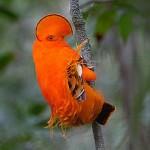 L'oiseau bigarré de la canopée, un être de lisière
