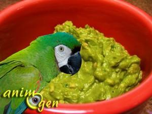 Santé : intoxication des perroquets par la consommation d'avocat (cause, symptômes, traitement)