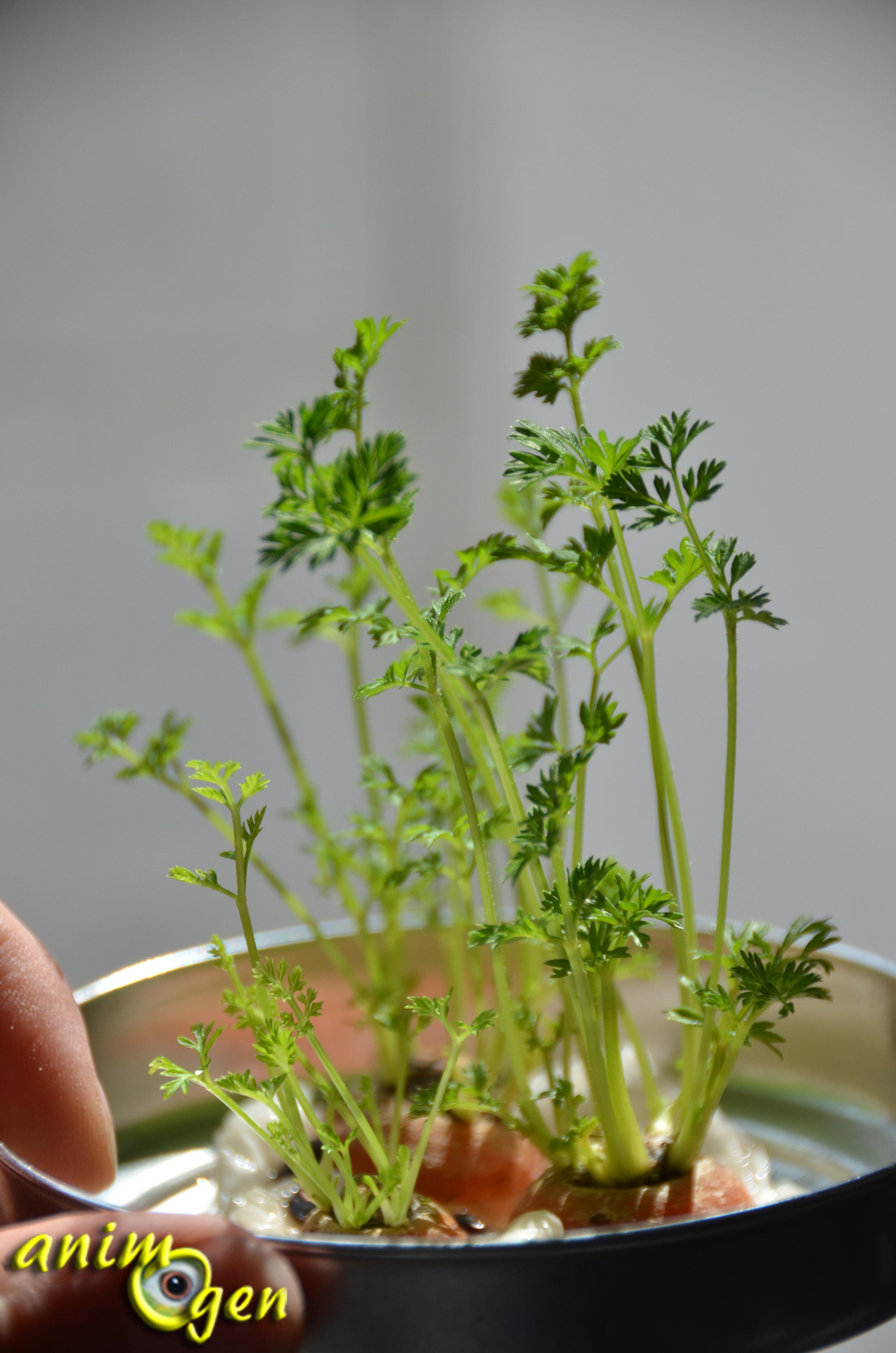 Alimentation faites pousser des fanes de carotte maison pour vos lapins et rongeurs animogen - Comment faire pousser des lentilles ...