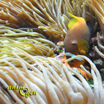 Comment choisir une anémone de mer, ou Actiniaria, pour nos aquariums marins ?