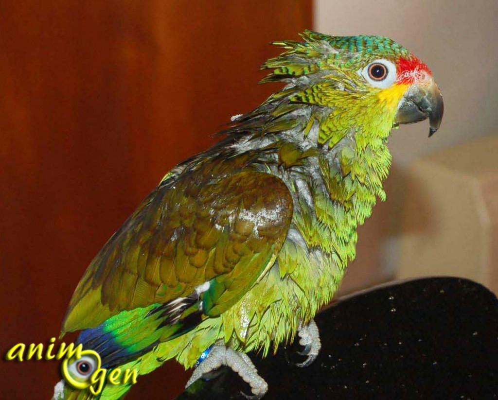 Comment apprendre à un perroquet à aimer le bain ?