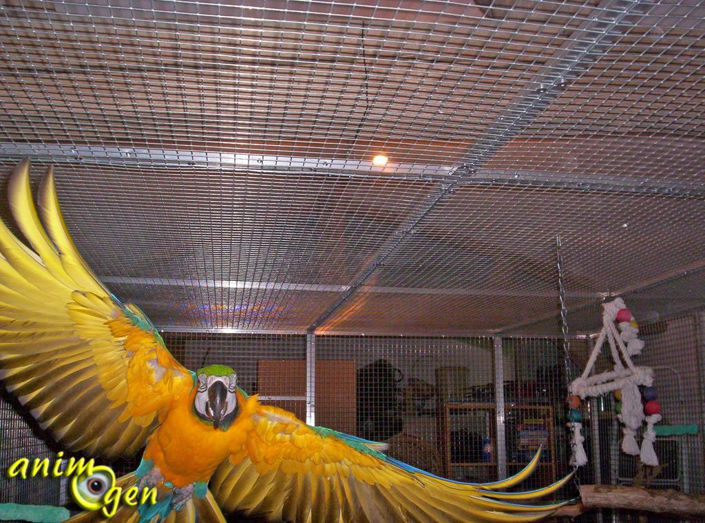Ara bleu et jaune, ou Ara ararauna, un perroquet au coeur d'or