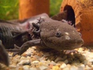 L'axolotl, ou Ambystoma mexicanum, petit monstre aquatique d'eau douce