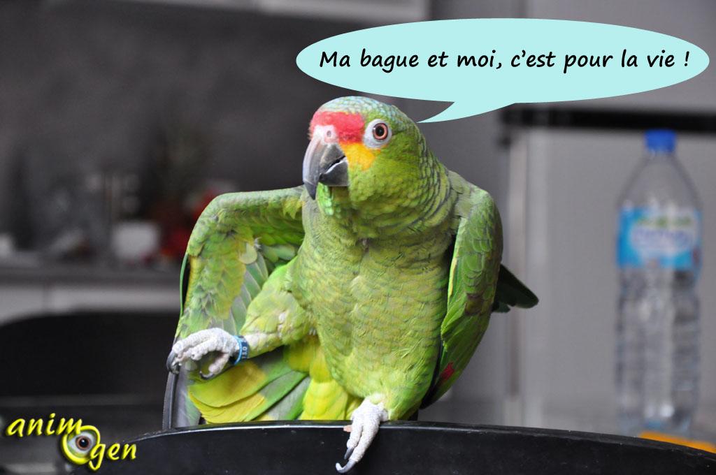Comment lire la bague de nos perroquets ?