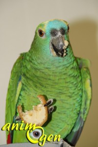 Alimentation : la banane, un fruit à donner avec modération à nos perroquets
