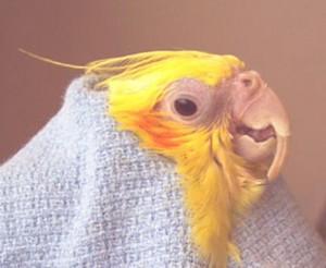 Perroquet : bec sain ou malade, comment faire la différence ?