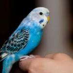 Le mystère des plumes bleues des oiseaux enfin résolu