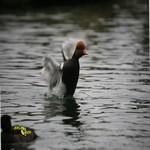 Nette rousse, canard d'ornement pour bassin et étang