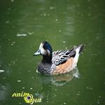10 mai 2013 animogen - Bassin canard d ornement pau ...