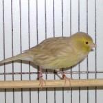 Mutation de canari : l'Isabelle