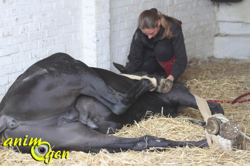 Le déroulement de la castration d'un cheval