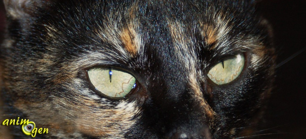 La vue des chats est remarquable et largement supérieure à la nôtre. De nuit, ils sont plus performants que nous à ce niveau, même dans un environnement faiblement éclairé. Si la lumière est faible, ils disposent de cellules réfléchissantes (le tapis choroïdien), situées derrière la rétine. Celles-ci captent pour eux le moindre rayon de lumière, ce qui accroît leur aptitude à voir de nuit. Cette membrane donne aussi l'illusion que les yeux des chats brillent dans l'obscurité. Leurs pupilles s'adaptent ainsi presque instantanément à toutes les variations de luminosité, s'élargissant pour en capter la moindre parcelle. Cela double presque la quantité de lumière qu'ils peuvent capter. Seulement 20% de la lumière nécessaire à l'humain pour y voir dans l'obscurité sont nécessaires à ces félins pour parvenir au même résultat, c'est dire l'acuité de ce sens chez eux.   Ils voient en couleurs, même s'ils ne voient pas le rouge. Leur perception des détails est imparfaite, ce qui fait d'eux des presbytes.  Ils sont dotés d'une vue à 287°, contre 180° pour l'homme. Ils détectent les mouvements à une rapidité étonnante, bien au-delà de celle de l'être humain, mais ce sens est plus aiguisé à une distance de 2 à 6m. Les yeux sont donc le principal atout des félins pour chasser et percevoir le monde qui les entoure.