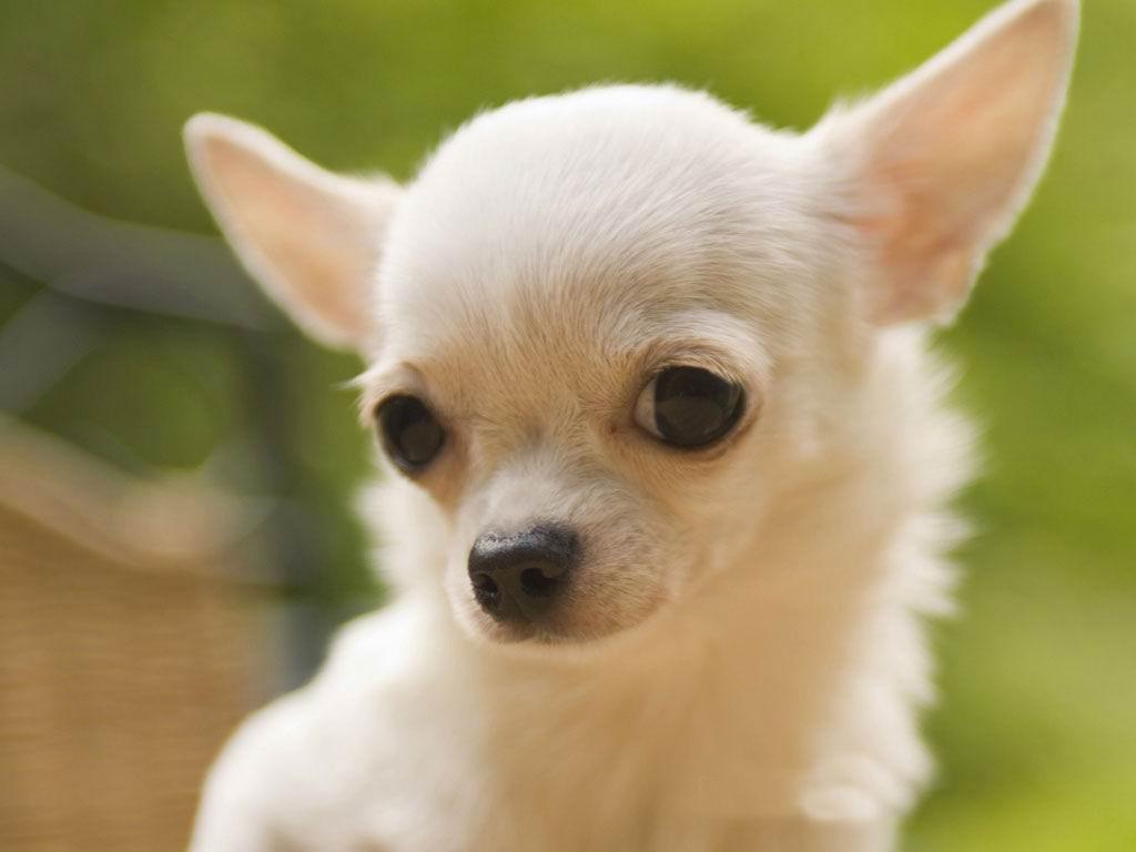 En Irak les Attentats anti Chiites continuent Chihuahua-chiens-races-Mexique-caract%C3%A8re-standard-entretien-caract%C3%A8re-%C3%A9ducation-comportement-origines-animal-animaux-compagnie-animogen-1