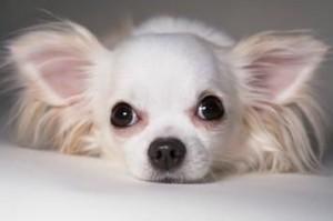 Le Chihuahua, chien de poche du Mexique