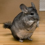 chinchilla-nac-alimentation-maintien-reproduction-soins-dents-comportement-caractère-cage-NAC-animal-animaux-compagnie-animogen-