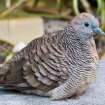 Les colombes, une famille d'oiseaux riche en surprises