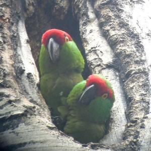 Habitudes de nidification des perroquets : conure à gros bec et conure à front brun (Rhynchopsitta)