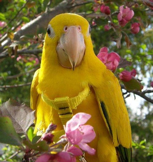 Conure dorée, ou Aratinga guarouba