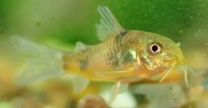 Poisson d'eau douce : les variétés les plus courantes de corydora